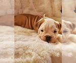 Small #23 English Bulldog