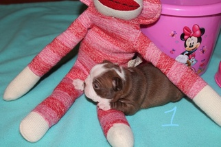 Boston Terrier Puppy For Sale in HOLLISTER, FL, USA