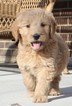 Goldendoodle Puppy For Sale in LOVELAND, CO, USA