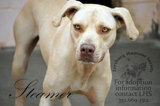 Steamer - Weimaraner / Yellow Labrador Retriever / Mixed Dog For Adoption