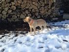 Labrador Retriever Puppy For Sale in GRESHAM, WI, USA