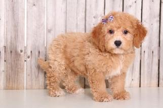 View Ad Poochon Puppy For Sale Near Ohio Mount Vernon Usa Adn 88354