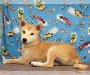 Shiba Inu Puppy for Sale in SHAWNEE, Oklahoma USA