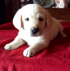 Labrador Retriever Puppy For Sale in TECUMSEH, MO, USA