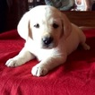 Labrador Retriever Puppy For Sale in TECUMSEH, MO, USA