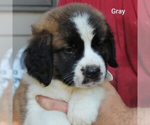 Saint Bernard Puppy for sale in BERESFORD, SD, USA