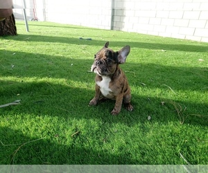 French Bulldog Puppy for sale in NORTH HILLS, CA, USA