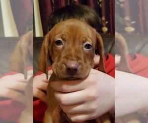 Vizsla Puppy for sale in NEW YORK MILLS, MN, USA