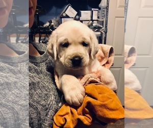 Labrador Retriever Puppy for Sale in KITTRELL, North Carolina USA