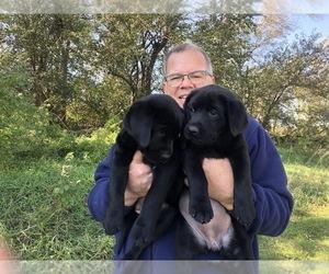 Labrador Retriever Puppy for Sale in HAWARDEN, Iowa USA