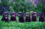 Labrador Retriever Puppy For Sale in RIVERSIDE, CA, USA