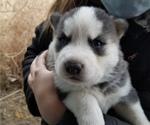 Puppy 4 Akita-Alaskan Malamute Mix