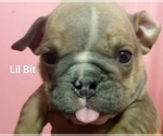 Small #27 English Bulldog