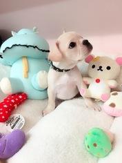 French Bulldog Puppy For Sale in SAN GABRIEL, CA, USA
