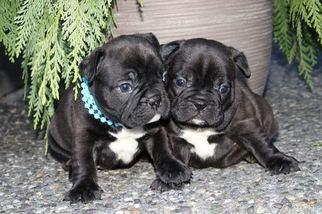 French Bulldog Puppy for sale in MARYSVILLE, WA, USA