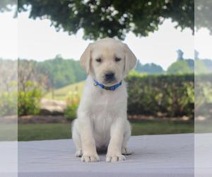 Labrador Retriever Dog for Adoption in GAP, Pennsylvania USA