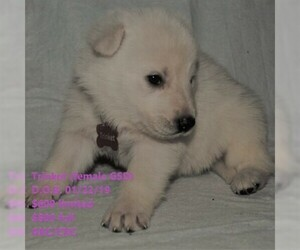 German Shepherd Dog Puppy For Sale in STURGIS, KY, USA