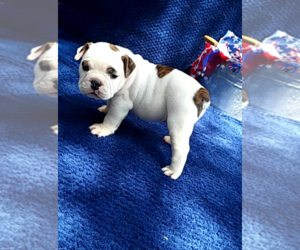 Olde English Bulldogge Puppy for sale in HAMILTON, TX, USA