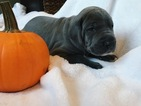 Great Dane Puppy For Sale in WADSWORTH, IL,