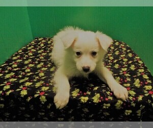 American Eskimo Dog Dog for Adoption in PATERSON, New Jersey USA