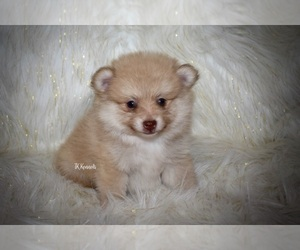 Pomeranian Dog for Adoption in GRAYSON, Louisiana USA