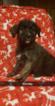 Puppy 7 German Shepherd Dog-Goldendoodle Mix