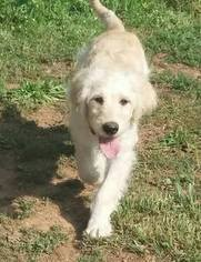 Goldendoodle Puppy For Sale in LOCUST GROVE, GA