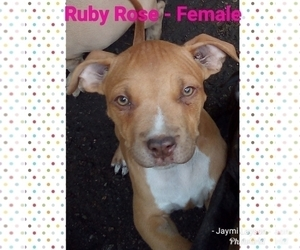 American Staffordshire Terrier Puppy for Sale in HAUSER, Idaho USA