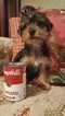 Yorkshire Terrier Puppy For Sale in AZLE, Texas,