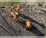 Vizsla Puppy For Sale in PANAMA CITY, FL, USA
