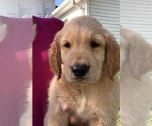 Golden Retriever Puppy for Sale in LAPEER, Michigan USA