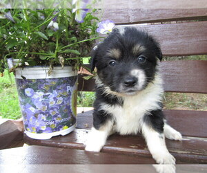 Huskimo Puppy for sale in HUDSON, MI, USA