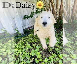 Labradoodle-Poodle (Miniature) Mix Dog for Adoption in COOKEVILLE, Tennessee USA
