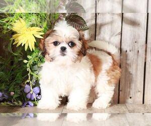 Shih Tzu Dog for Adoption in MOUNT VERNON, Ohio USA