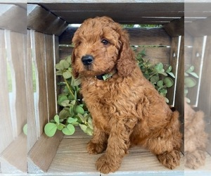 Doodle-Poodle (Toy) Mix Puppy for Sale in MIDDLEBURY, Indiana USA
