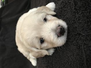 Goldendoodle Puppy for sale in DELTONA, FL, USA