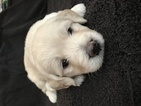 Goldendoodle Puppy For Sale in DELTONA, FL,