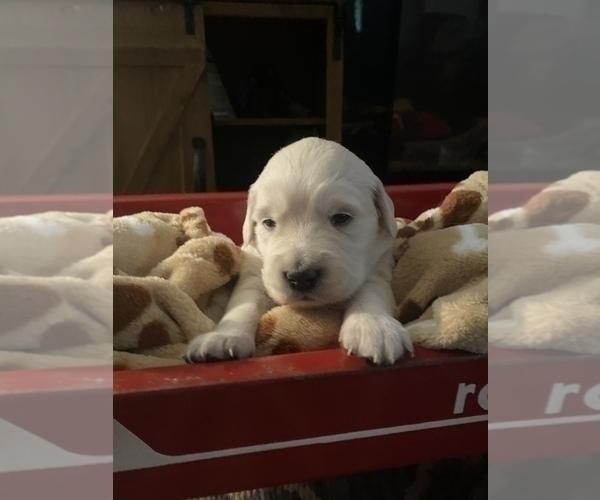 Medium Photo #7 English Cream Golden Retriever Puppy For Sale in ARCHBALD, PA, USA