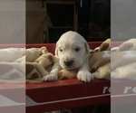 Small #6 English Cream Golden Retriever