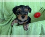 Yorkshire Terrier Puppy For Sale in ANTELOPE, CA, USA