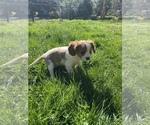 Puppy 4 Cavalier King Charles Spaniel