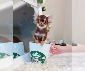 Chihuahua Puppy for sale in ASTORIA, NY, USA