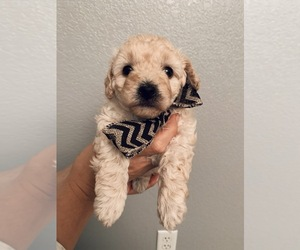 Poodle (Miniature) Puppy for Sale in BRIGHTON, Colorado USA