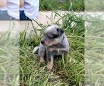 red and blue Australian Cattle Dog pups