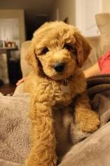Goldendoodle Puppy for sale in SPARTANBURG, SC, USA