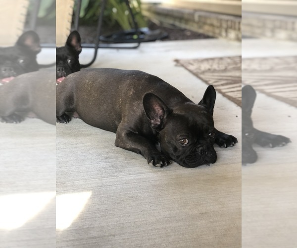 Medium Photo #1 French Bulldog Puppy For Sale in PARAGOULD, AR, USA