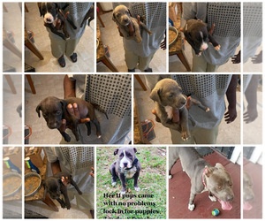 American Pit Bull Terrier Puppy for sale in SOMERVILLE, TX, USA