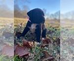 Puppy 0 Boxador