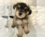 Puppy 1 Schnoodle (Miniature)
