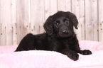 Labradoodle Puppy For Sale in MOUNT VERNON, OH,